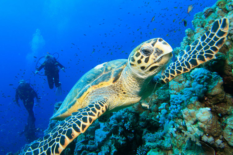Green Turtle Diving in Dahab